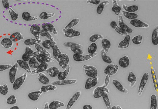 El moviment d'un organisme aquàtic unicel·lular podria inspirar nous robots reptadors